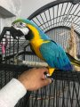 Awesome Blue And Gold Macaw Parrot for sale.