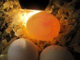 Fresh and Fertile Parrot Eggs for Sale,