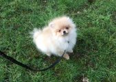 Outstanding Pomeranian Puppies For Sale