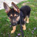 German Shepherd puppies for sale whatsapp . +17249132010