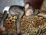 Baby Chimps, Lemurs, Fennec Foxes & Monkeys