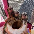 Hand Raised Marmoset Monkeys for sale.