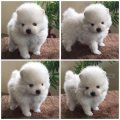 male and female tea cup pomeranian puppies for sale