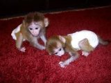 healthy and clean male and female capuchin monkeys for sale