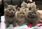 male and female healthy british shorthaired kittens for sale