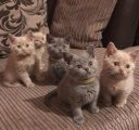 blue british shorthaired kittens for sale