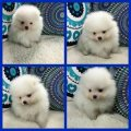 american pure bred tea cup pomeranian puppies for sale