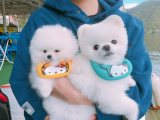 pure bred male and female tea cup pomeranian puppies for sale