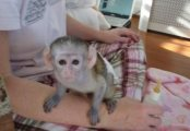 clean and pure face capuchin monkeys for sale