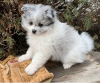 Adorable outstanding Pomeranian puppies