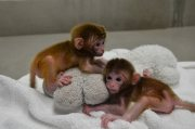 red skin and healthy capuchin monkeys for sale