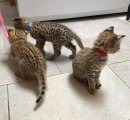Litter of lovely family savanna kittens
